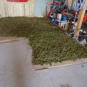 Die gepflückten Zapfen werden für den Transport in die Samendarre vorbereitet.