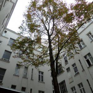 Typischer Lebensraum eines Berliner Stadtbaumes und Notwendigkeit regelmäßiger seitlicher Rückschnitte