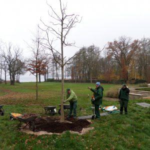 Neupflanzung einer großen Walnuss.